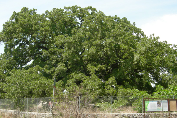 La Quercia Vallonea candidata all'European Tree Of The Year